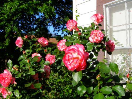 Nicole Roses blooming in Spring