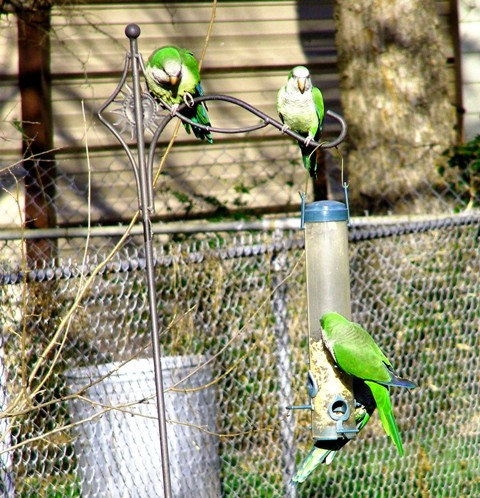 My wild backyard Parrots